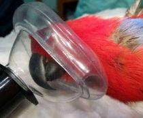 анестезия птиц во время осмотра ветеринара