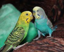 сколько стоит волнистый попугай