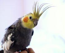 сколько стоит попугай корелла