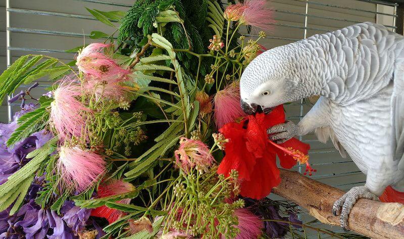 Гибискус попугаю