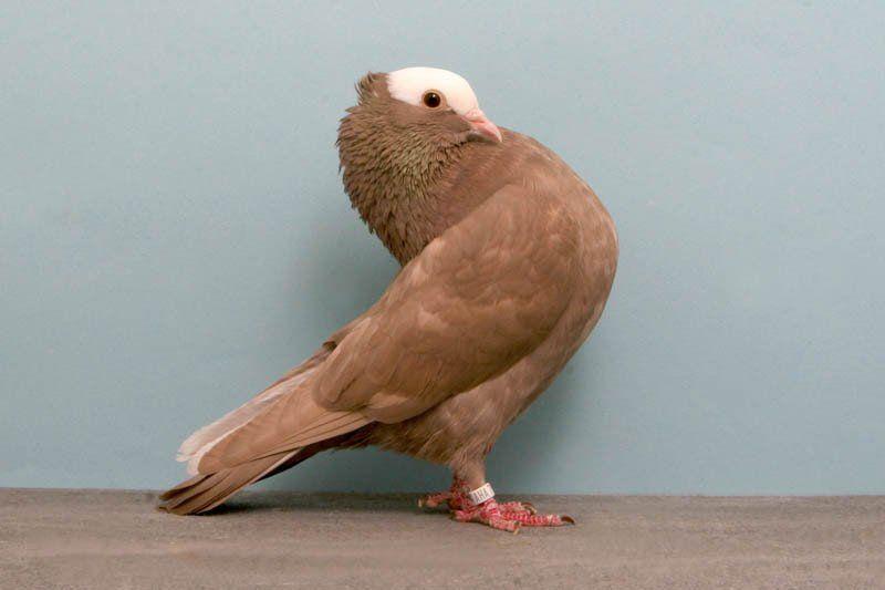 Цена голубя в России