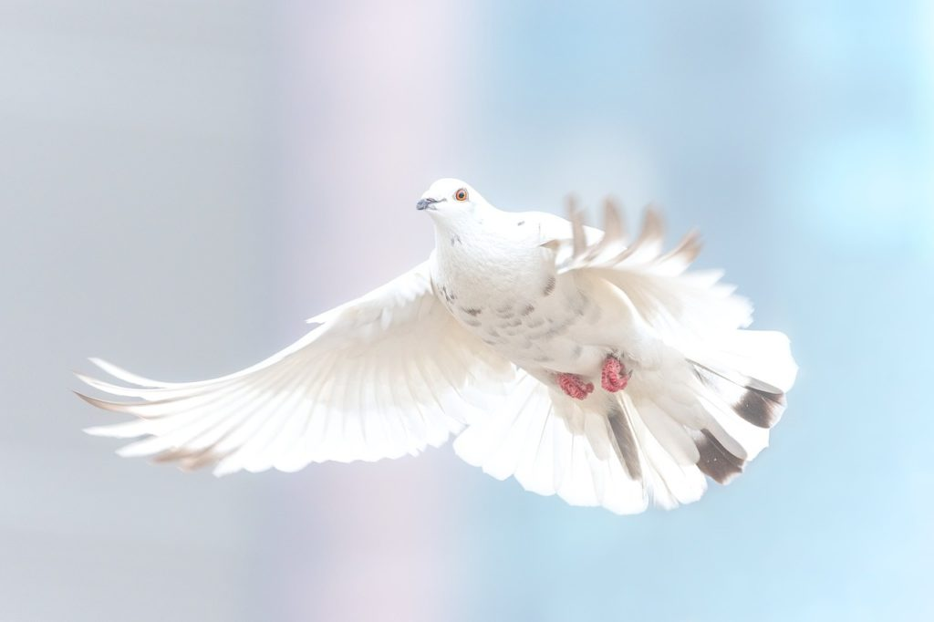 разводить голубей