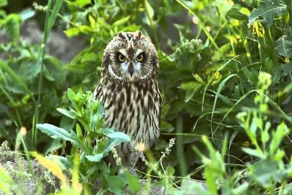 Фото и описание болотной совы