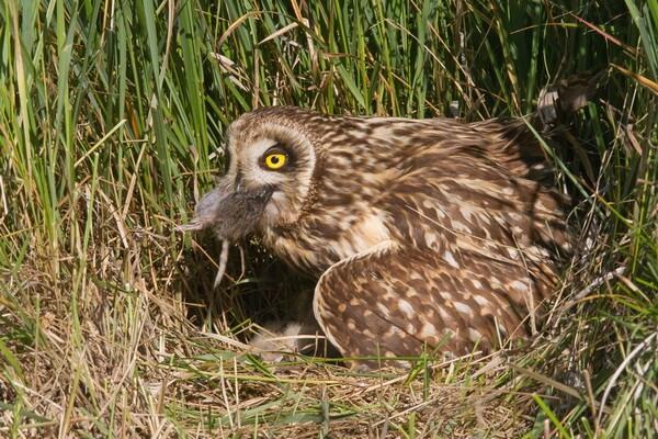 Особенности размножения болотных сов