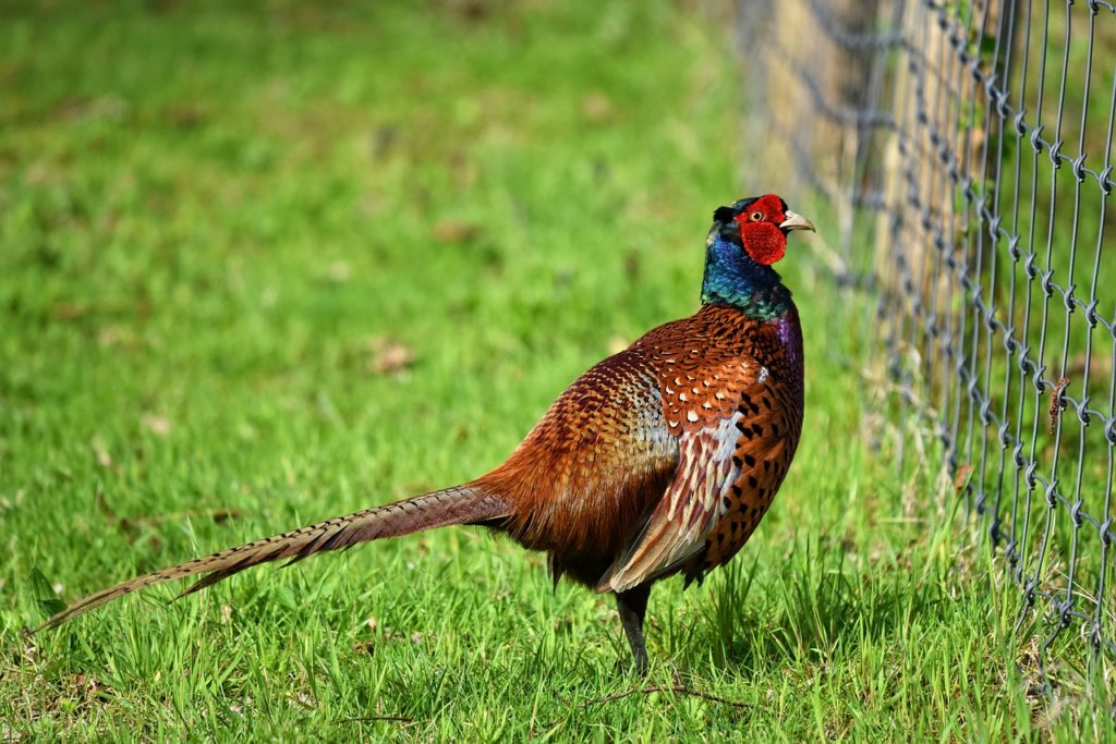 Сколько стоит фазан