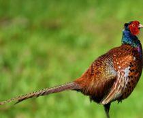 Сколько стоит фазан?