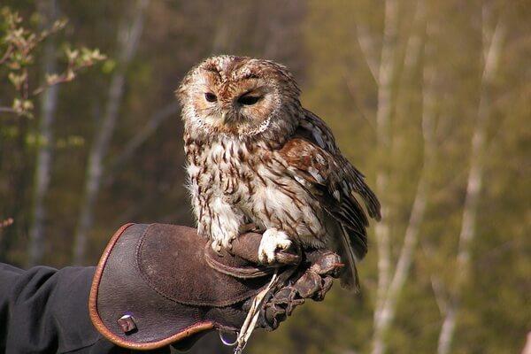 Приручение совы для охоты