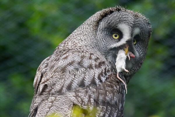 Охота и питание сов