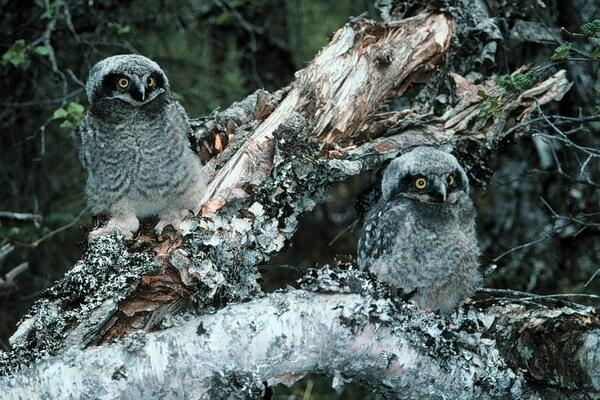 Размножение совы
