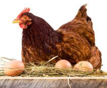Сколько яиц подкладывать под курицу наседку