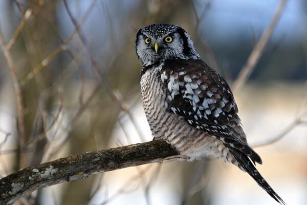Ястребиная сова - фото и описание