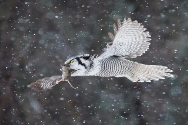 Образ жизни и охота ястребиной совы
