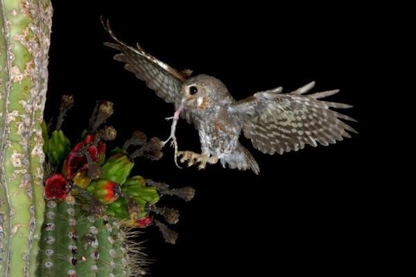Как охотятся кактусовые сычи