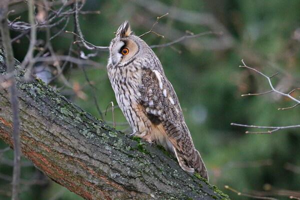 Ушастая сова - внешний вид