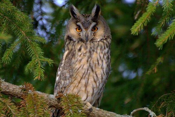 Ушастая сова - ареал распространения