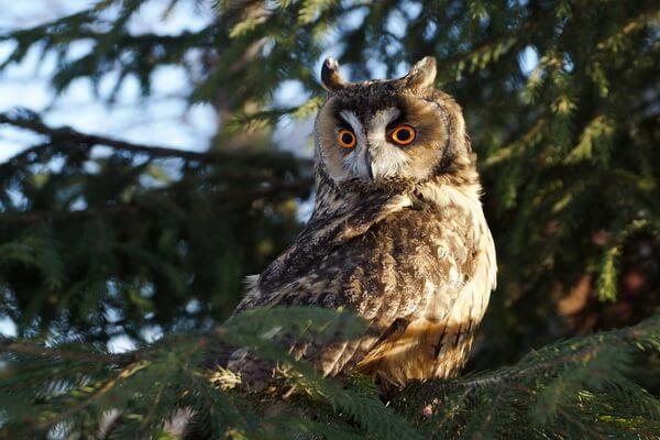 Ушастая сова - основные места гнездования