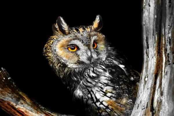Образ жизни и охота ушастой совы