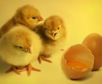 покупать цыплят или выводить их