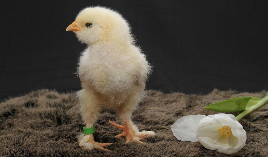 выведения цыплят в инкубаторе