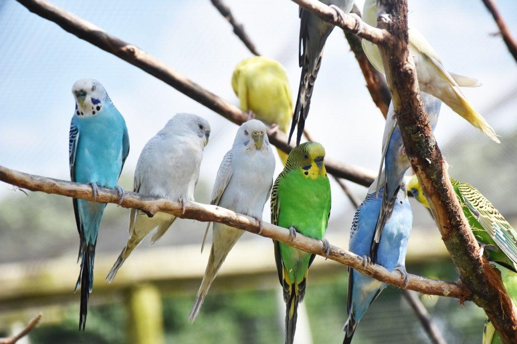 Разведение попугай