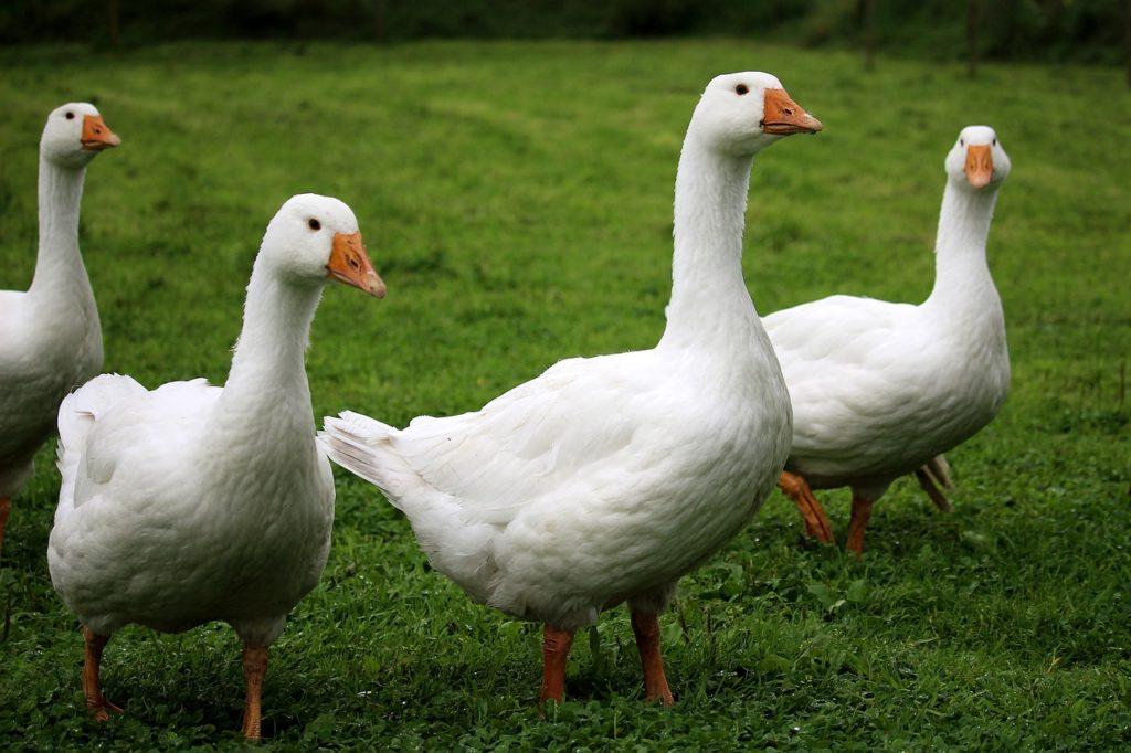 сколько стоят гуси в России