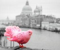Необычные розовые голуби