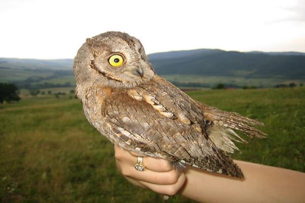 Виды совок - Обыкновенная совка или сплюшка