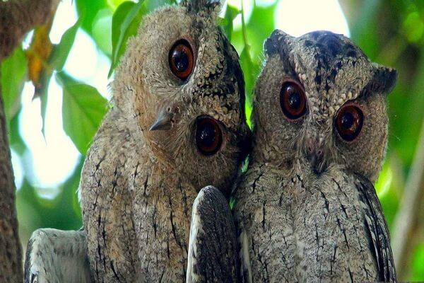 Размножение сов сплюшек