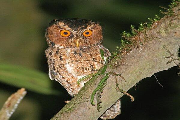 Буланая совка - основные места обитания и гнездования