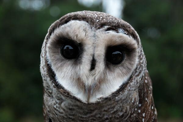Чёрная сипуха - фото и описание птицы