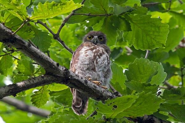 Иглоногая сова - основные места обитания птицы