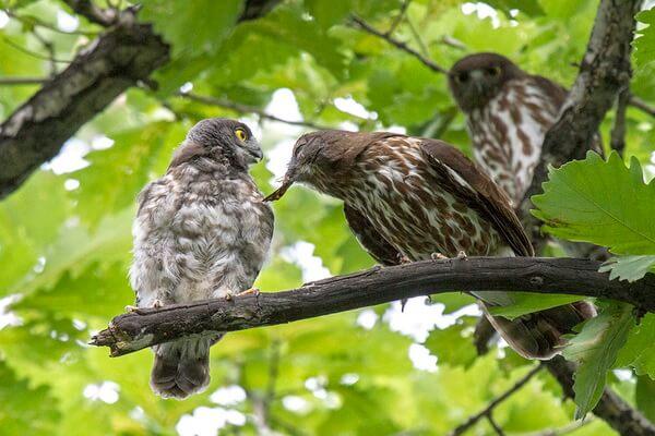 Размножение иглоногих сов