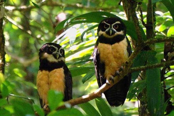 Неотропические совы и их основные места обитания