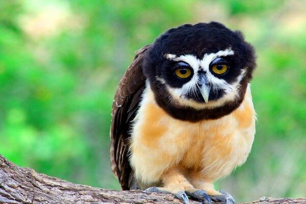 Неотропические совы - фото и описание