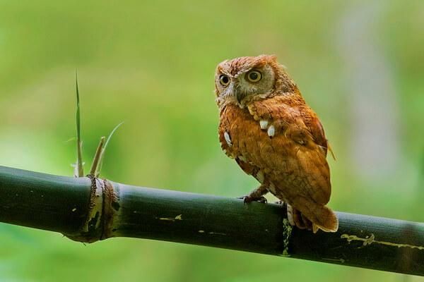 Восточная или уссурийская совка - описание внешнего вида