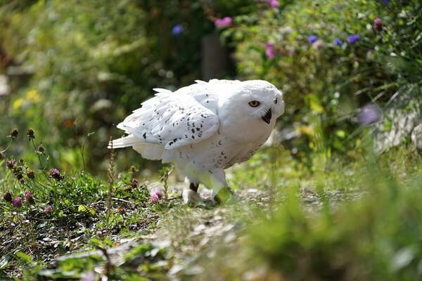 Интересные факты о полярной сове