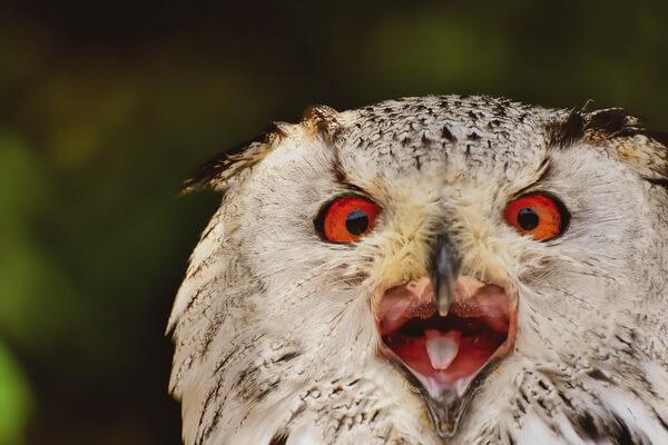 Интересные факты про крик совы