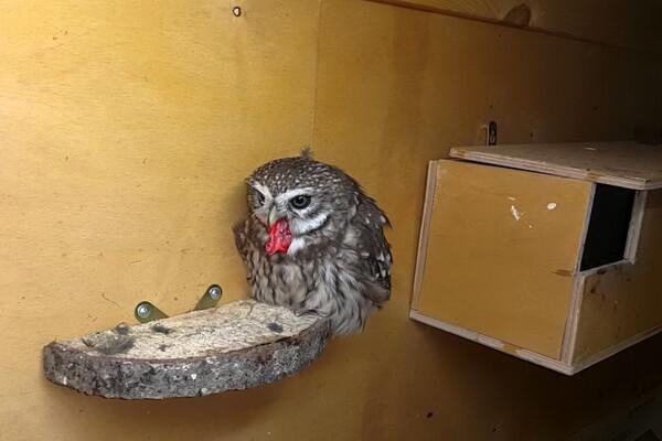 Чем кормить мелких сов в домашних условиях