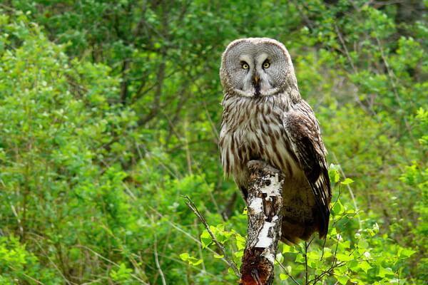 Виды сов, какие есть в России - Бородатая неясыть