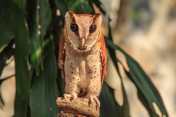 Виды масковых сипух - Цейлонская масковая сипуха