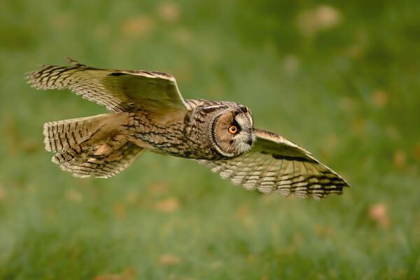 К чему снится сова в полёте