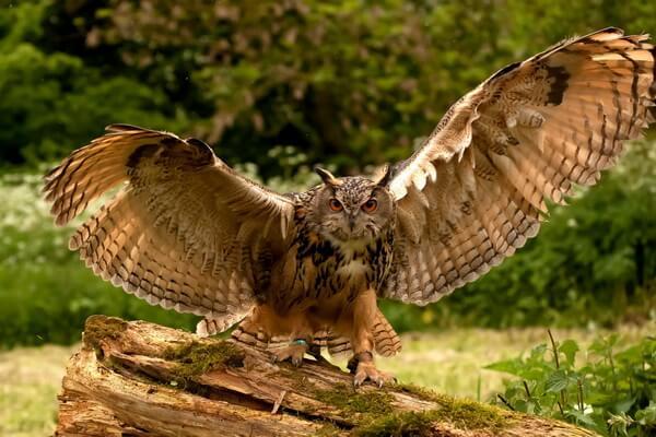 Самые красивые совы - Обыкновенный филин (пугач)
