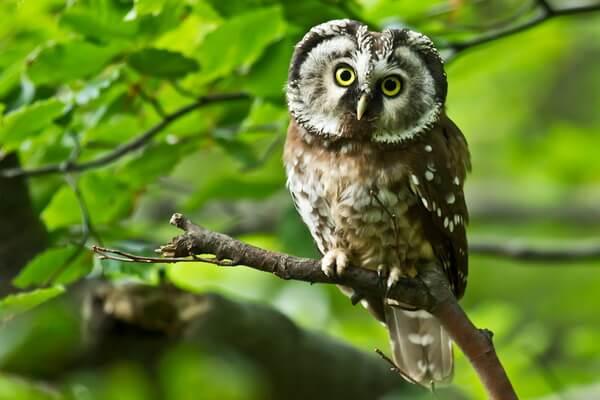 Самые красивые совы - Мохноногий сыч