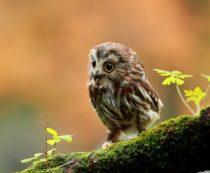 Самые красивые совы с фото и описанием