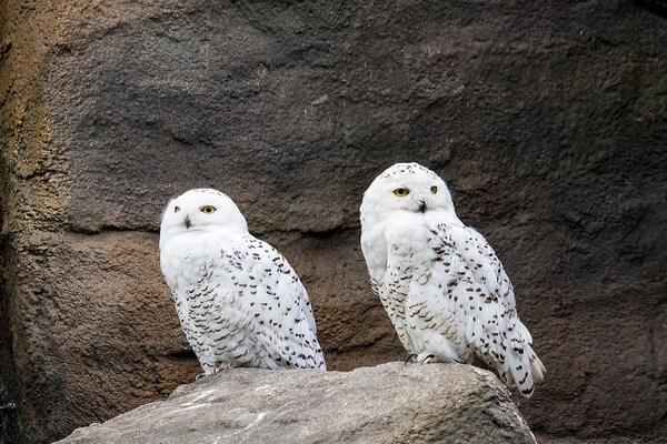 Сколько живут полярные совы