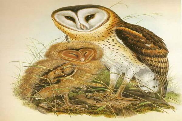 Совы в живописи - Капская сипуха, Джон Гульд