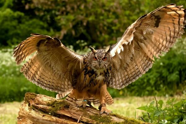 Основная разница между совой и филином