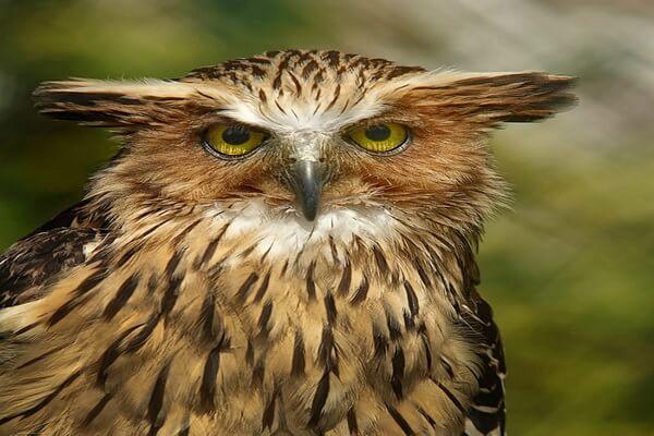 Разница между совой и филином - основные признаки