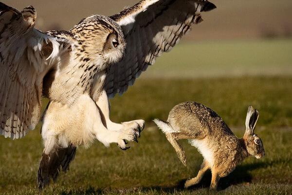 Разница между филином и совой в образе жизни