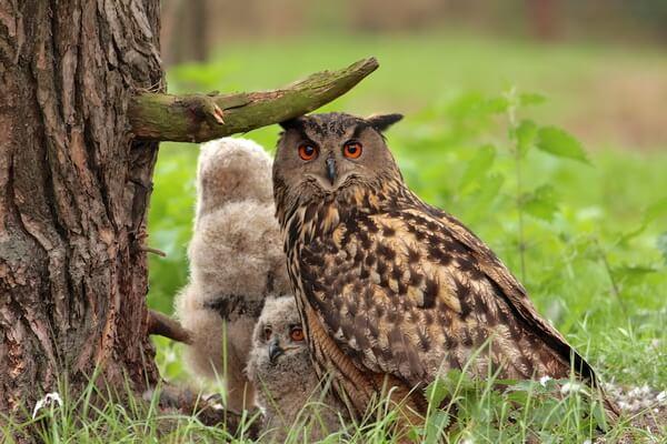 Разница между совой и филином по местам обитания